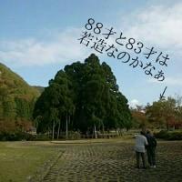 樹齢660年の杉