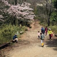 二上山の桜