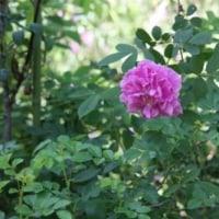 カモミール、八重咲きタカネバラ
