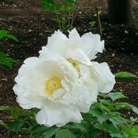 上野東照宮、牡丹の花