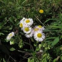 よく似た花、イチリンソウとニリンソウです