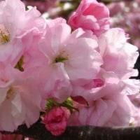 散る桜 残る桜も 散る桜 ?