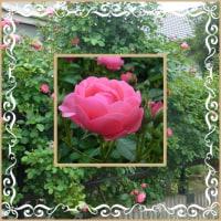 薔薇が咲き出しました