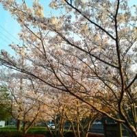 桜集め・花集め