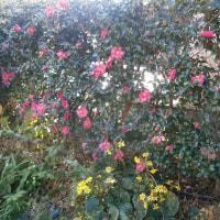 やっぱり冬なのでサザンカが咲いて十二月八日・・・