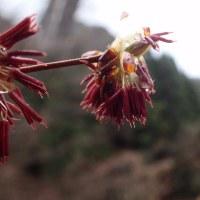 フサザクラの花:花弁はありません。
