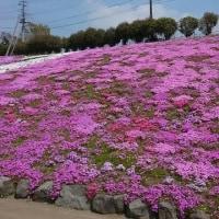 みさと芝桜公園