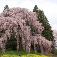二本松合戦場のしだれ桜