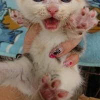 子猫&マンチカン!