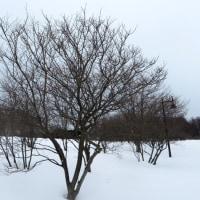 冬芽の観察112ハシドイ3