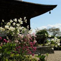 京都吉峰寺の秋明菊(貴船菊)