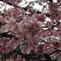 安行寒桜見物