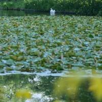 ●奥卯辰山健民公園 キショウブとカキツバタ 久しぶりにハクチョウ・コロちゃん