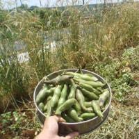 スナックエンドウとそら豆を撤収しました