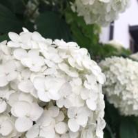 オサンポ walk - しろいはな white flowers