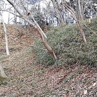 2017年1月15日 滝山城跡下草刈り 「出丸」周辺が見ごろです!まだ見てない人、是非見に来てくださいね