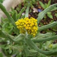 山法師の花