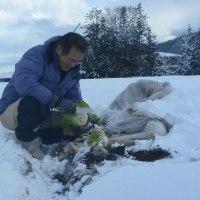 白菜さん 雪中から ニッコニコ (菜人)