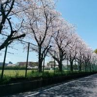 静岡は漸く桜満開