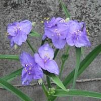 紫露草(むらさきつゆくさ)という花
