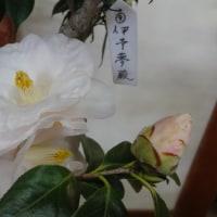 椿栽培日記  29 伊予夢殿接ぎ木
