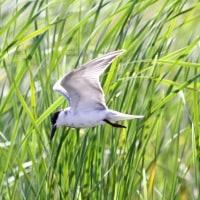 5/28探鳥記録写真(響灘ビオトープの鳥たち:クロハラアジサシ他)