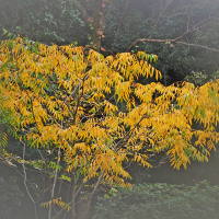 ムクロジの黃葉