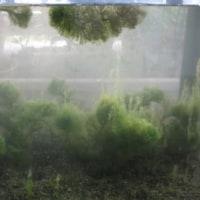 水槽移動で水草が抜ける
