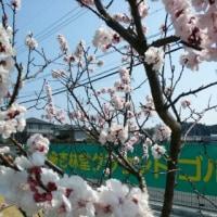 春ですよ。