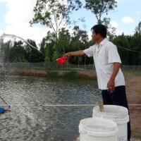 バナメイエビ養殖の利益はブラックタイガーよりも少ない  ベトナム