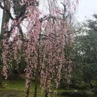 内山邸しだれ桜とお茶会