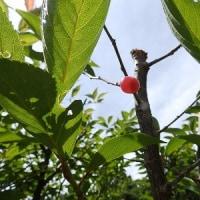 「桜桃忌」にちなみ。