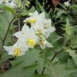 季節の花「悪茄子 (わるなすび)」