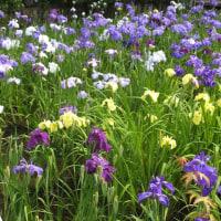 埼玉県上尾市丸山公園の花菖蒲が綺麗です。
