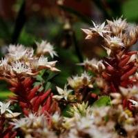 雑草の寄せ植え・・白色マンネングサとコメツブツメクサ