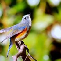 羽を広げるルリビタキ