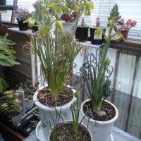 アルブカ スピラリス・フリズルシズルが咲き始めた