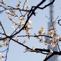 梅とスカイツリー