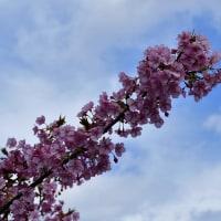 豪雪だった山陰にも桜が咲いたよ