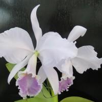 設備投資②,C.labiata,C.交配種2個体