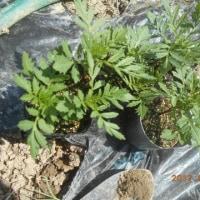 畑のトマトの畝にマリーゴールドを植えました