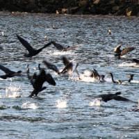 カワウ集団着水