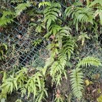 須津川渓谷のシダ:似たような葉が写っています。イワガネゼンマイ・ヤブソテツ・オオバノイノモトソウ等が・・