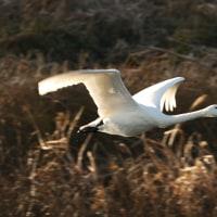 寒波の中、白鳥飛来地