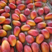 マンゴー園