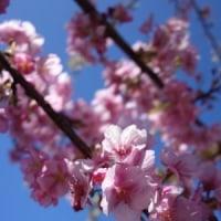 松田に行ってきた  3    河津桜今年は早かったのねぇ