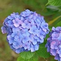 いろいろな紫陽花(その2) !!