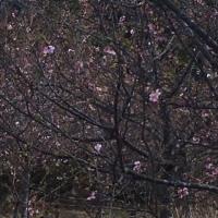 野見金の河津桜開花(^^♪