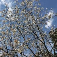 一本の桜の木だけが満開でした。春日公園(iphoneにて撮影)