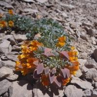 凡さんの山歩き 南米チリ エル・プロモ峰 高山植物